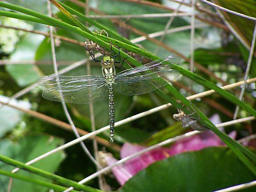 Dragonfly 012