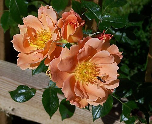 Roseapricot