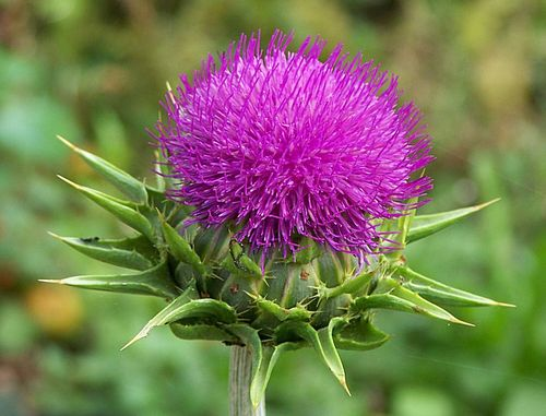 Milkthistle