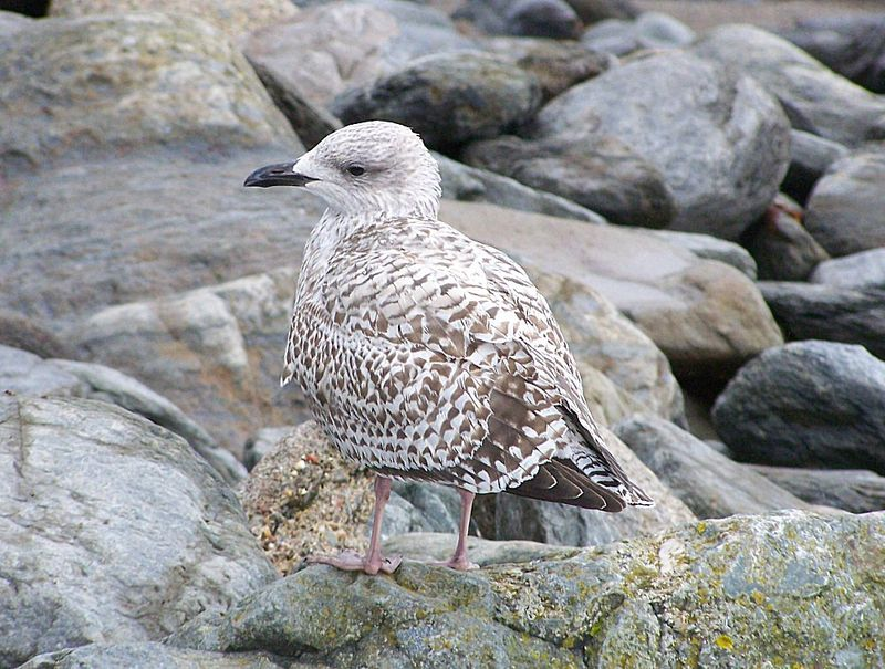 Younggull