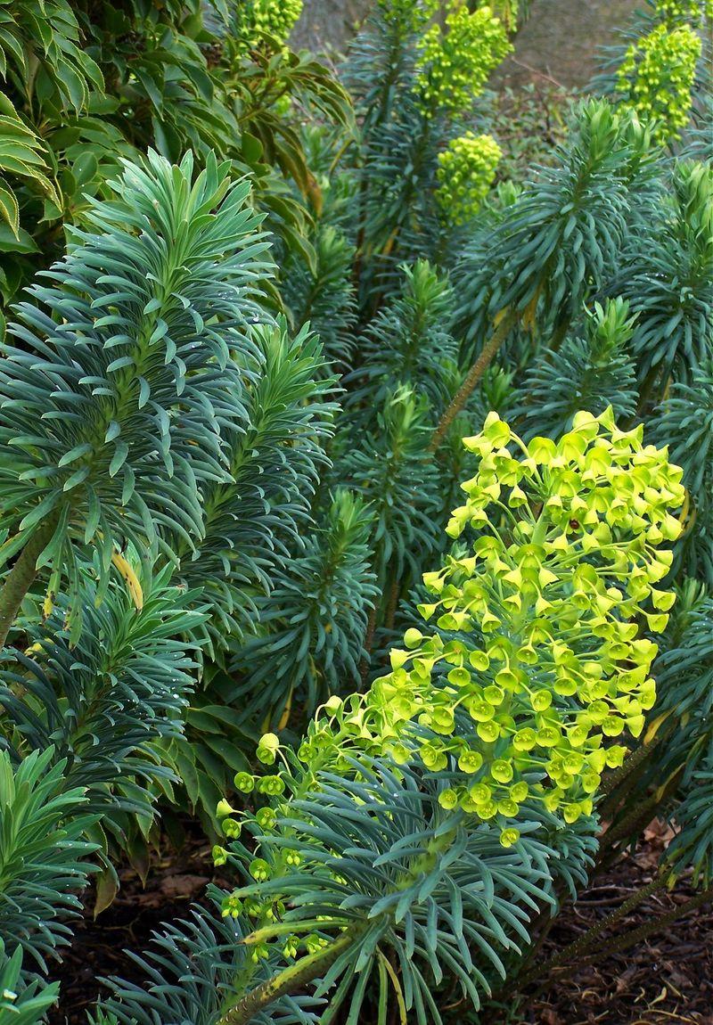 Euphorbia wulfenii