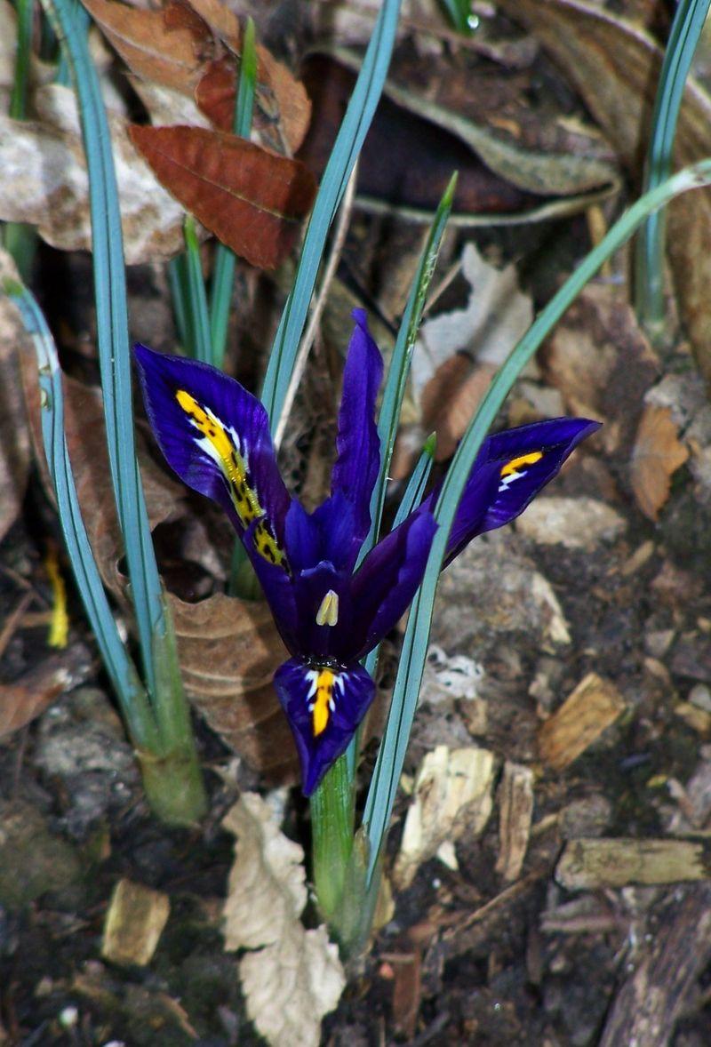 Iris retic