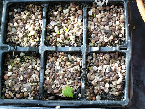 Rootcuttings