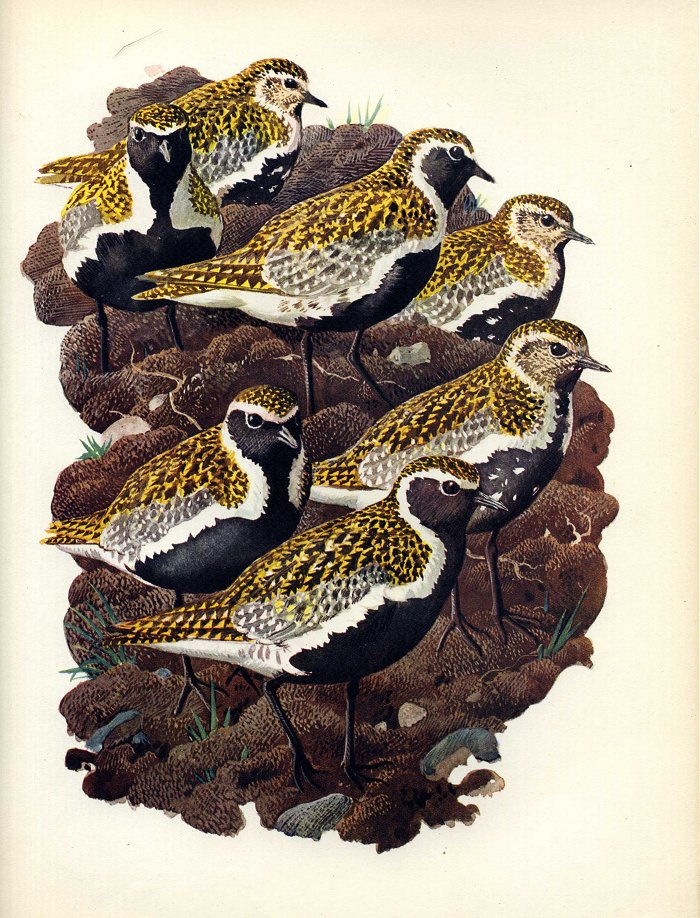 NorthernGoldenPlover