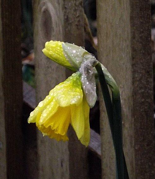 Daffflower