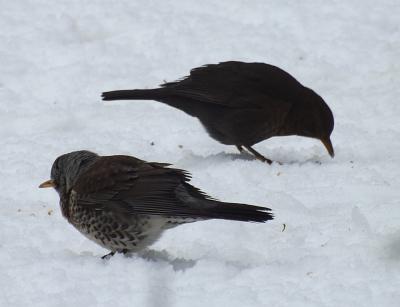Fieldfare blackbird