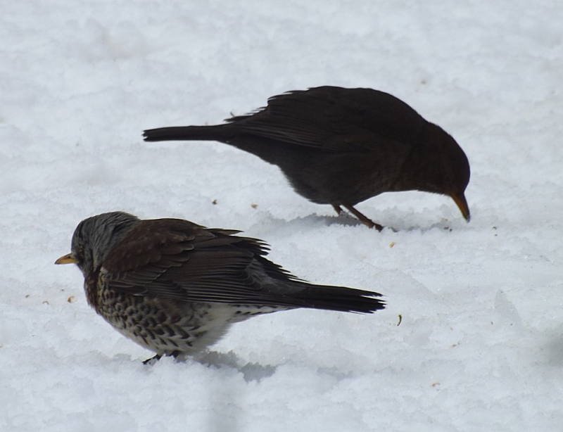 Fieldfare blackbird