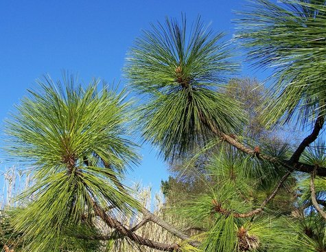 Pinus_engelmanii