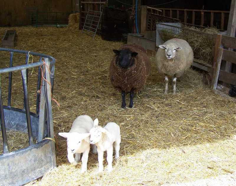 Sheeplambs