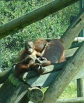 Orangbaby2